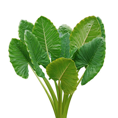 Heart shaped green leaves of Elephant Ear or Giant Taro (Alocasia macrorrhizos), tropical rainforest plant bush isolated on white background with clipping path. Zdjęcie Seryjne