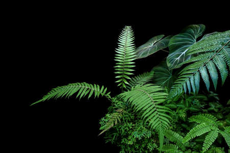 Fern fronds, philodendron leaves (Philodendron gloriosum) and tropical foliage rainforest plants bush on black background.