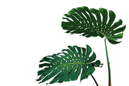 Dark green leaves of monstera plant or split-leaf philodendron (Monstera deliciosa) the tropical foliage popular houseplant isolated on white background, clipping path included. Фото со стока