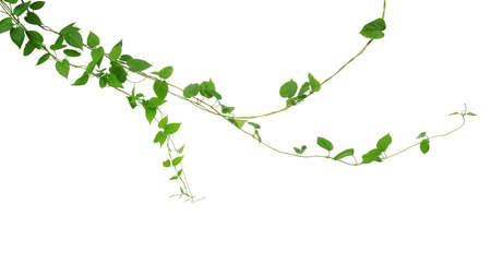 Twisted jungle vines liana climbing plant with heart shaped green leaves hanging, nature frame layout isolated on white background with clipping path. Archivio Fotografico - 130160607