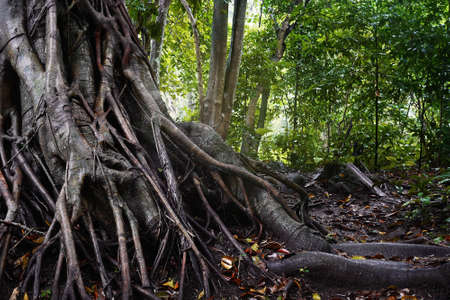 Forest tree trunk with messy roots on wet ground after rain, monsoon jungle trail in tropical rainforest nature background.