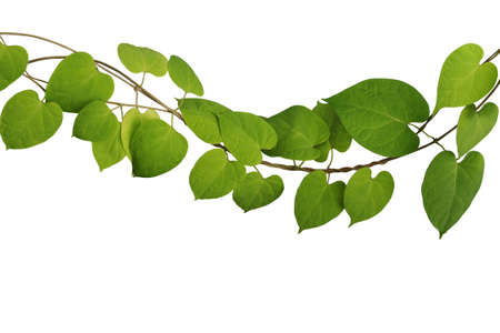 Twisted  jungle vine climbing plant with heart shaped green yellow leaves isolated on white background with clipping path, Cowslip creeper (Telosma cordata) the tropical forest medicinal herbal plant.