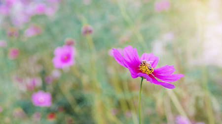 Honeybee working on pink cosmos flower in beautiful spring morning flower field blurred nature background. Фото со стока