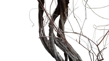 Old spooky jungle tree trunk with twisted tree branches of flowering climbing plant isolated on white background, clipping path included.