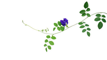 Green leaves vine with blue flower of Asian pigeonwings or butterfly pea (Clitoria ternatea) the medicinal creeper flowering plant isolated on white background, clipping path included.