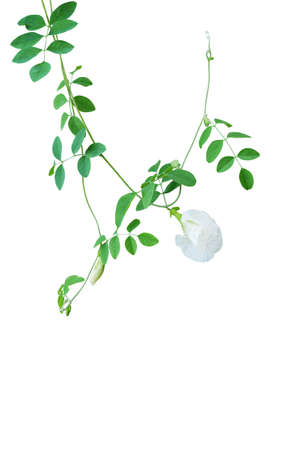 Green leaves vines with white flowers of rare Asian pigeonwings or white butterfly pea (Clitoria ternatea) the medicinal creeper flowering plant isolated on white background, clipping path included. Фото со стока