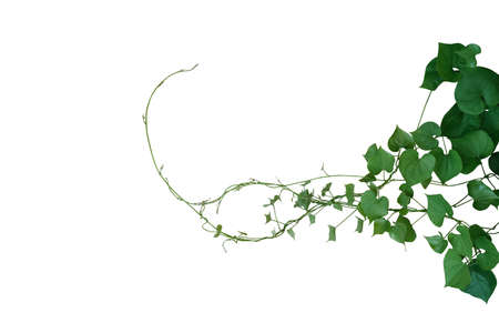 Heart shaped green leaves twisted vines of wild yam or air potato (Dioscorea sp.) tuberous climbing vine jungle plant bush isolated on white background, clipping path included.