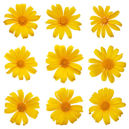 Mexican sunflower or tree marigold (Tithonia diversifolia) ornamental flowering plant native to Mexico, set of 9 large daisy-like yellow flower heads isolated on white background with clipping path. Фото со стока