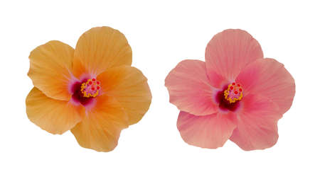 Yellow orange and coral pink hibiscus flowers or rose mallow the tropical flowering plant isolated on white background, clipping path included. Фото со стока