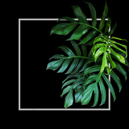 Tropical leaves foliage rainforest plant bush of native Monstera (Epipremnum pinnatum) green nature backdrop with light gray frame on black background.