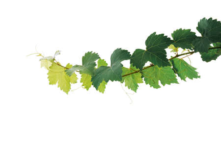 Grape leaves vine plant branch with tendrils isolated on white background, clipping path included.