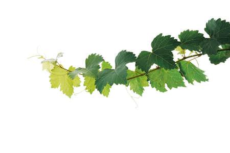 Hojas de uva rama de planta de vid con zarcillos aislados sobre fondo blanco, trazado de recorte incluido.