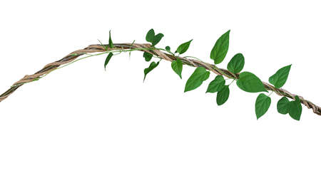 Heart shaped green leaves vine of Cowslip creeper tropic plant climbing and twisted around jungle wild liana plant isolated on white background, clipping path included.