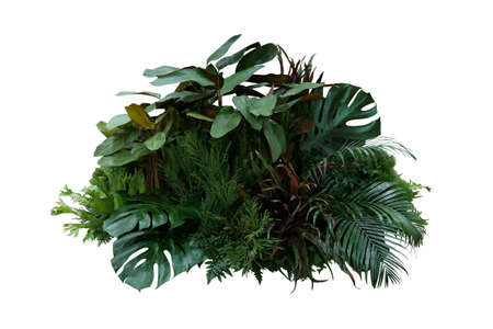 Tropical foliage plant bush (Monstera, palm leaves, Calathea, Cordyline or Hawaiian Ti plant, ferns, and fir) floral arrangement nature backdrop isolated on white