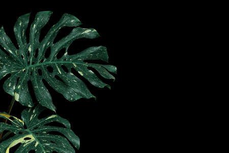 Variegated tropical leaves of foliage forest plant Monstera (Monstera deliciosa) the rare houseplant on black background, Swiss cheese or split-leaf philodendron with green and yellow leaves.