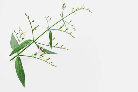 Close-up of traditional herbal medicine plant Kariyat or green chireta (Andrographis paniculata) flowers with green leaves on white. The plant has found the ability to suppress coronavirus COVID-19. Foto de archivo
