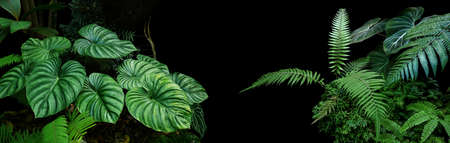 Tropical rainforest foliage plants bushes (ferns, palm, philodendrons and tropic plants leaves) in tropical garden on black background, green variegated leaves pattern nature frame forest background. Foto de archivo