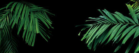 Rainforest palm leaves tropical foliage plant on black background, ornamental palm trees in tropical garden.