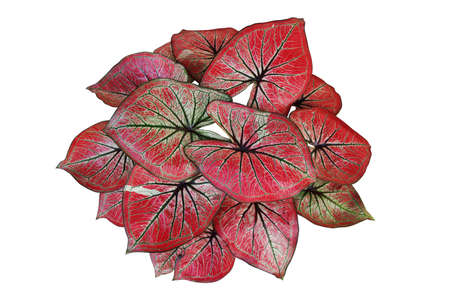 Beautiful red Caladium leaves pattern or elephant ear the tropical foliage plant bush with fancy variegated leaves, popular indoor garden houseplant isolated on white background with clipping path. Banque d'images