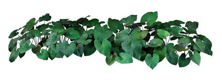 Heart shaped dark green leaves of Homalomena plant (Homalomena Rubescens) the tropical foliage plant bush growing on wild, popular houseplant isolated on white background with clipping path.