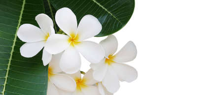 White flowers with yellow center and green leaves of Frangipani or Plumeria (Plumeria alba) flowering plant tropical flower tree native to the tropical and sub tropical regions on white background.