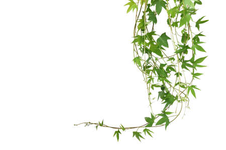 Hanging vines leaves of sweet potato vine plant isolated on white background with clipping path. Banque d'images