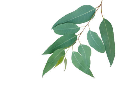 Fresh eucalyptus leaves on tree twig a green foliage commonly known as gums or eucalypts plant isolated on white background,