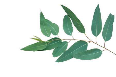 Fresh eucalyptus leaves on tree twig a green foliage commonly known as gums or eucalypts plant isolated on white background Banque d'images