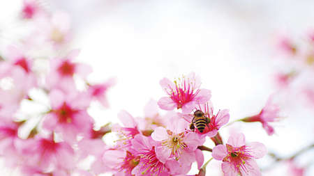 Honey bee pollinating working on Sakura pink flowers or wild Himalayan cherry blossom, shallow depth of field nature background. Archivio Fotografico