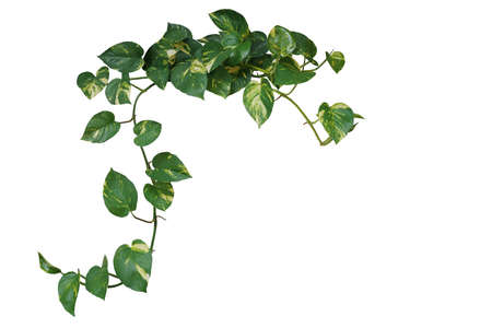Heart shaped green variegated leave hanging vine plant of devil's ivy or golden pothos Archivio Fotografico