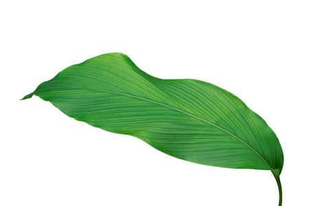 Green leaf of turmeric (Curcuma longa) ginger medicinal herbal plant isolated on white background