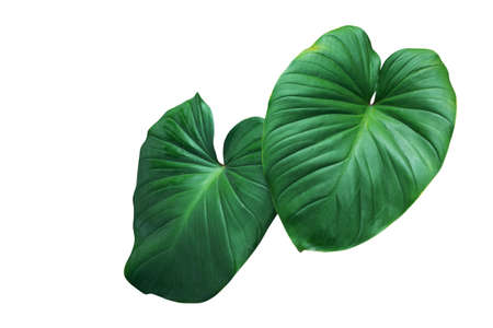 Heart shaped green leaves of Homalomena plant (Homalomena Rubescens) the tropical foliage houseplant isolated on white background Archivio Fotografico