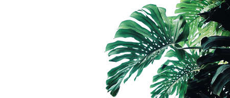 Tropical leaves pattern foliage plant bush Monstera (Monstera deliciosa) nature frame layout on white background for banner and cover page, tropical summer houseplant and forest concepts.
