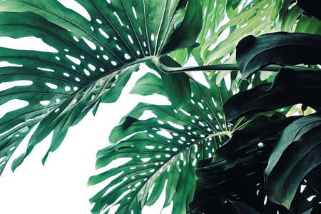Abstract tropical green leaves pattern on white background, lush foliage plant bush of Monstera (Monstera deliciosa) the tropic popular houseplant.