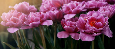 Close-up pink purple tulip flower on blurred tulips flower field nature background for banner and cover page. Imagens