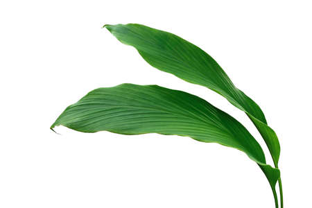 Green leaves of turmeric (Curcuma longa) ginger medicinal herbal plant isolated on white background