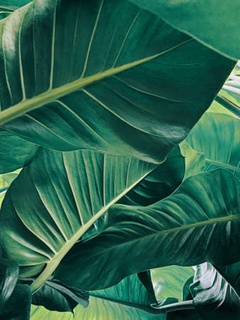 Abstract tropical green leaves pattern blurred background, lush foliage of giant golden pothos or Devil's ivy (Epipremnum aureum) the tropic plant.