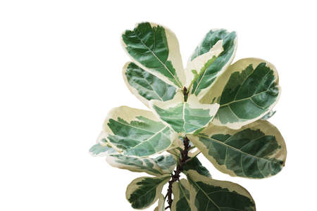 Rare plant with variegated leaves of fiddle-leaf fig tree (Ficus lyrata) the popular ornamental tree tropical houseplant isolated on white background