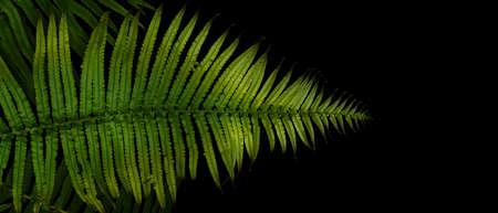Green leaves fern tropical rainforest foliage plant on black background.