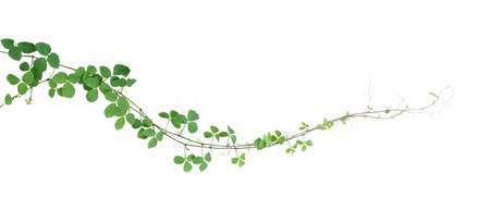Bush grape or three-leaved wild vine cayratia (Cayratia trifolia) liana ivy plant bush, nature frame jungle border isolated on white background
