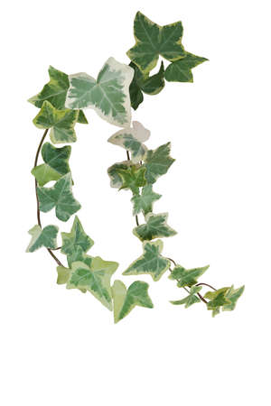 Green variegated foliage ivy leaves climbing vine plant, hanging branches of potted ivy indoors houseplant isolated on white background with clipping path.