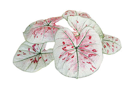 White foliage with red speckles and green veins heart shaped fancy leaf of Caladium tropical foliage plant leaves popular houseplant isolated on white background with clipping path.