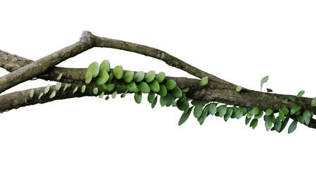 Tropical rainforest Dragon scale fern (Pyrrosia piloselloides)  epiphytic creeping plant with round fleshy green leaves growing on jungle liana vine plant isolated on white with clipping path. 写真素材