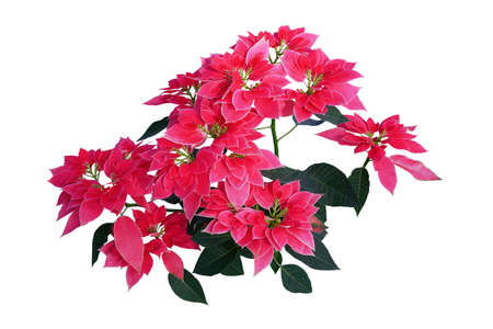 Pink red Poinsettia cultivar with dark green leaves foliage plant bush used in Christmas floral displays isolated on white background