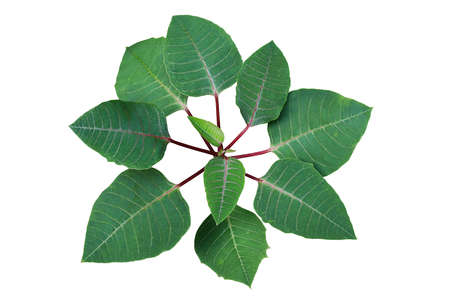 Top view of green leaves Poinsettia shrub plant without colored bracts or modified leaves isolated on white  . The tropical dry forest foliage plant used in Christmas floral displays. 写真素材