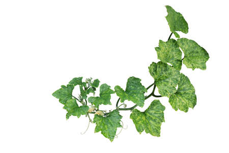 Variegated pumpkin leaves hanging vine plant with flowers and tendrils isolated on white background, clipping path included.