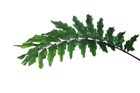 Dark green leaves of rare ornamental palm plant Wallichia palm or  Himalayan dwarf fishtail palm frond the humid forest plant isolated on white background with clipping path.