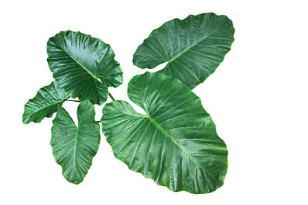 Heart shaped green leaves of Elephant Ear or Giant Taro (Alocasia species), tropical rainforest foliage garden plant isolated on white background