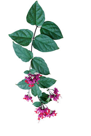 Red purple flowers with green leaves of tropical bleeding heart vine or bagflower (Clerodendrum spp.) the liana flowering vine plant from tropical west Africa isolated on white.