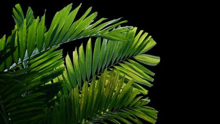 Tropical palm leaves ornamental garden palm plant, rainforest foliage nature plant bush on black background.